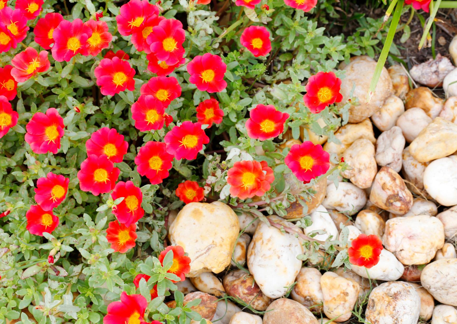 Цветы моего сада которые вынесут жару и засуху